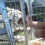 JED feeding Sammy the Tiger raw poultry