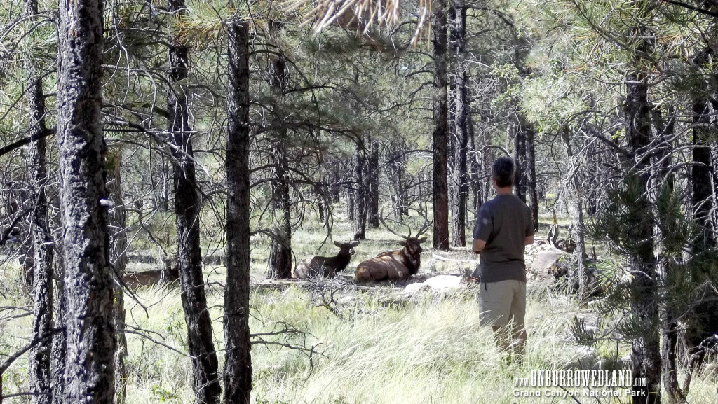 Elk in the Grand Canyon National Park and Kaibab National Forest
